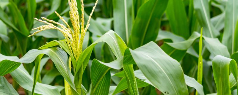 玉米种植时间和方法