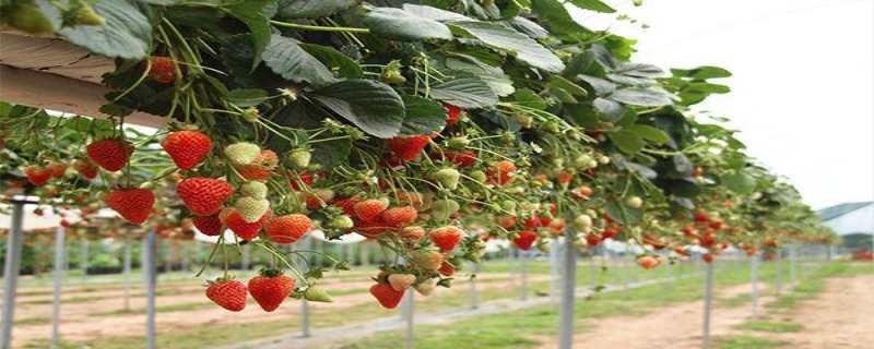草莓的种植方法和技术