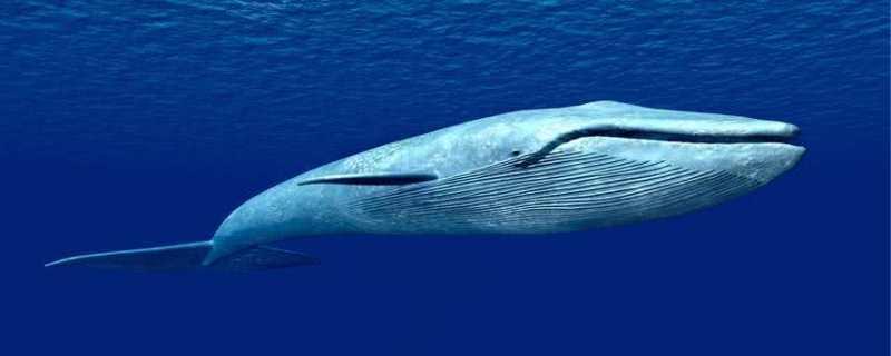 蓝鲸吃什么