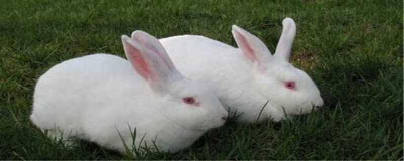 獭兔养殖技术