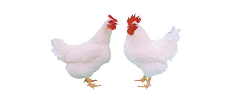 什么是肉鸡
