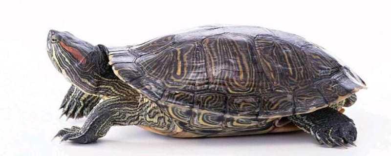 巴西龟的危害