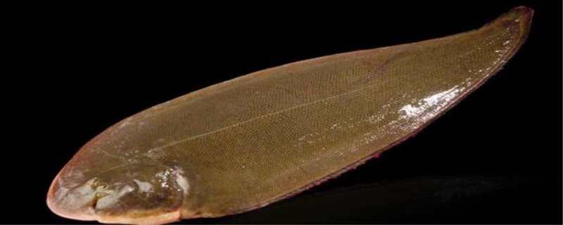 龙利鱼是什么鱼