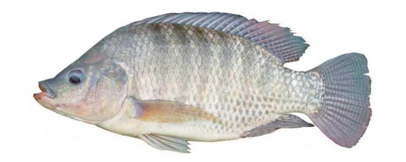 罗非鱼是什么鱼